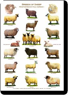 British cattle breeds poster
